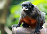 1024px-Red-bellied_tamarin_(Saguinus_lab