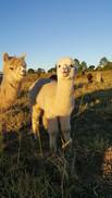 funny alpacas