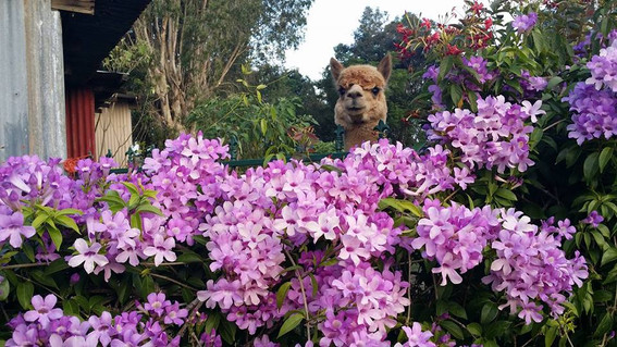 alpaca with flowers