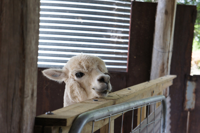 cheeky alpaca