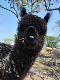 cute alpaca smile