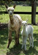 appaloosa alpaca