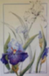 Botanical Study Iris Slovak Prince IMG_1