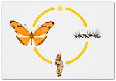 Butterfly-life-cycle-6.jpeg