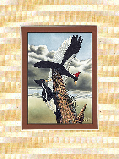 """Ivory Billed Woodpeckers"""