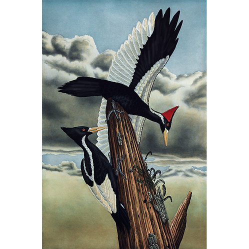 """Ivory Billed Woodpeckers"" C.E."