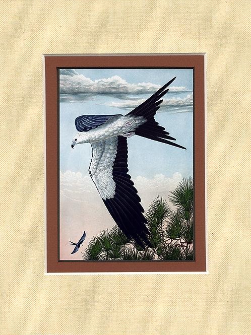 """""""Swallow-tailed Kite"""""""