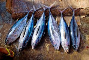 تسمم الأسماك: تسمم الأسماك المدارية والتسمم بالإسقمري