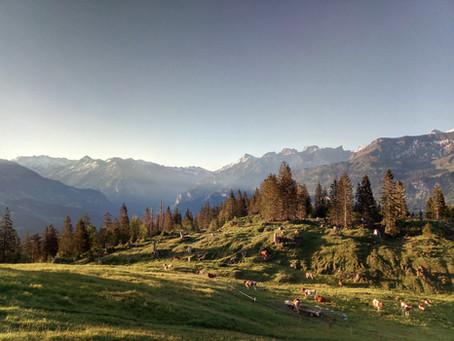 Unsere Rinder vom 2019 auf der Alp
