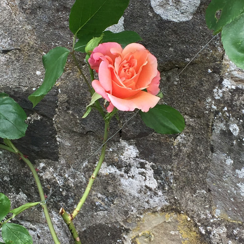 A Rose by the Barn