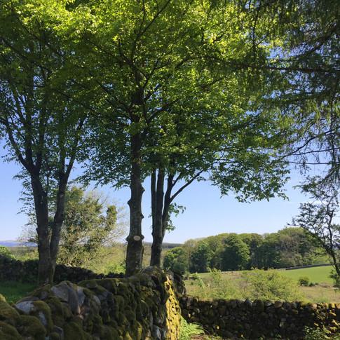 Beech Trees in Summer
