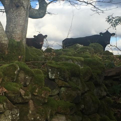 Neighbouring Cattle