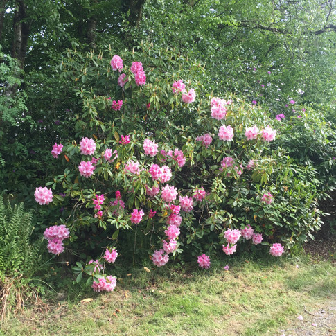 Rhododendrons at Carsebuie