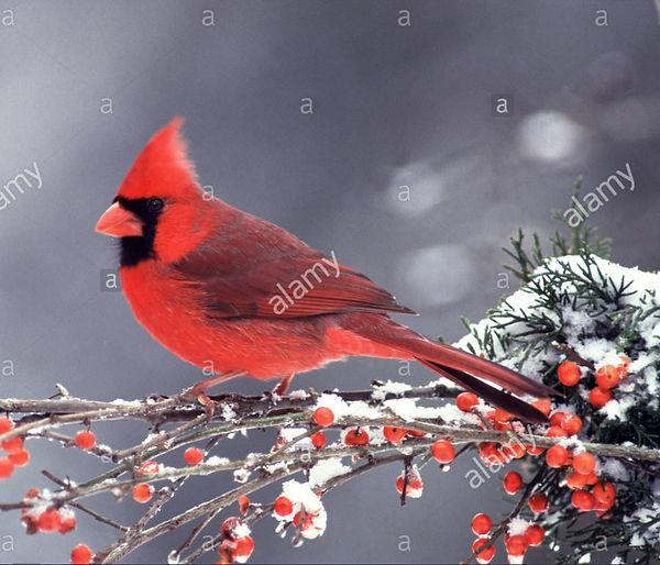 This Cardinal.jpg