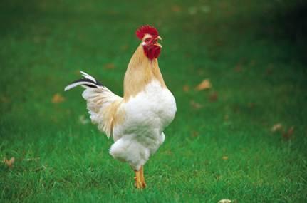 Free Range Chicken Quarters