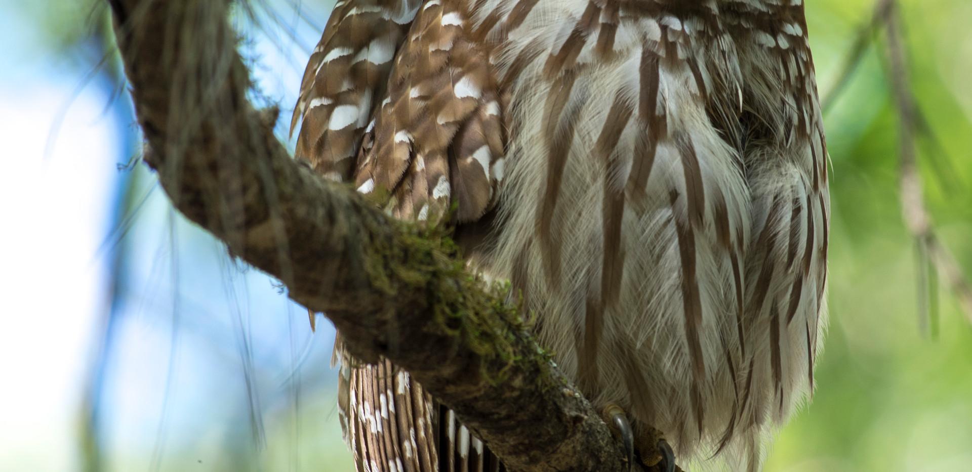 Barred Owl (Strix varia).jpg