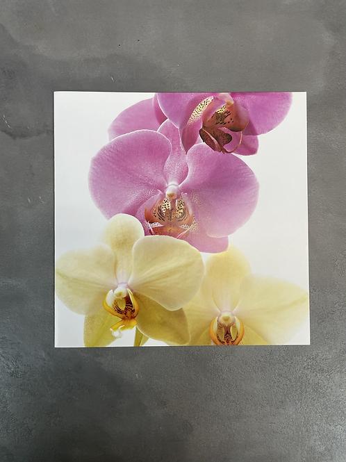 carte phaleanopsis 6.25 po x6.25 po