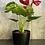 Thumbnail: Anthurium 6 pouces