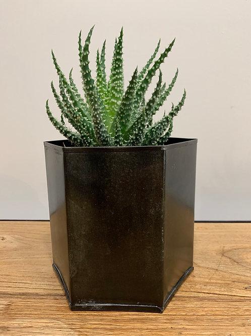 Aloes humilis