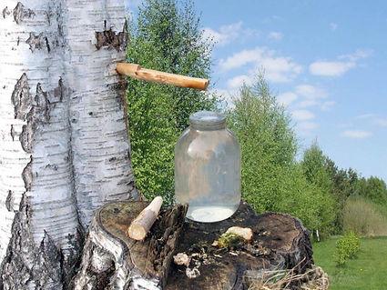 Birch sap 1.jpg
