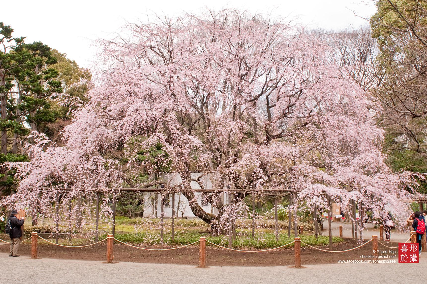 六義園枝垂櫻 Sakura Tokyo