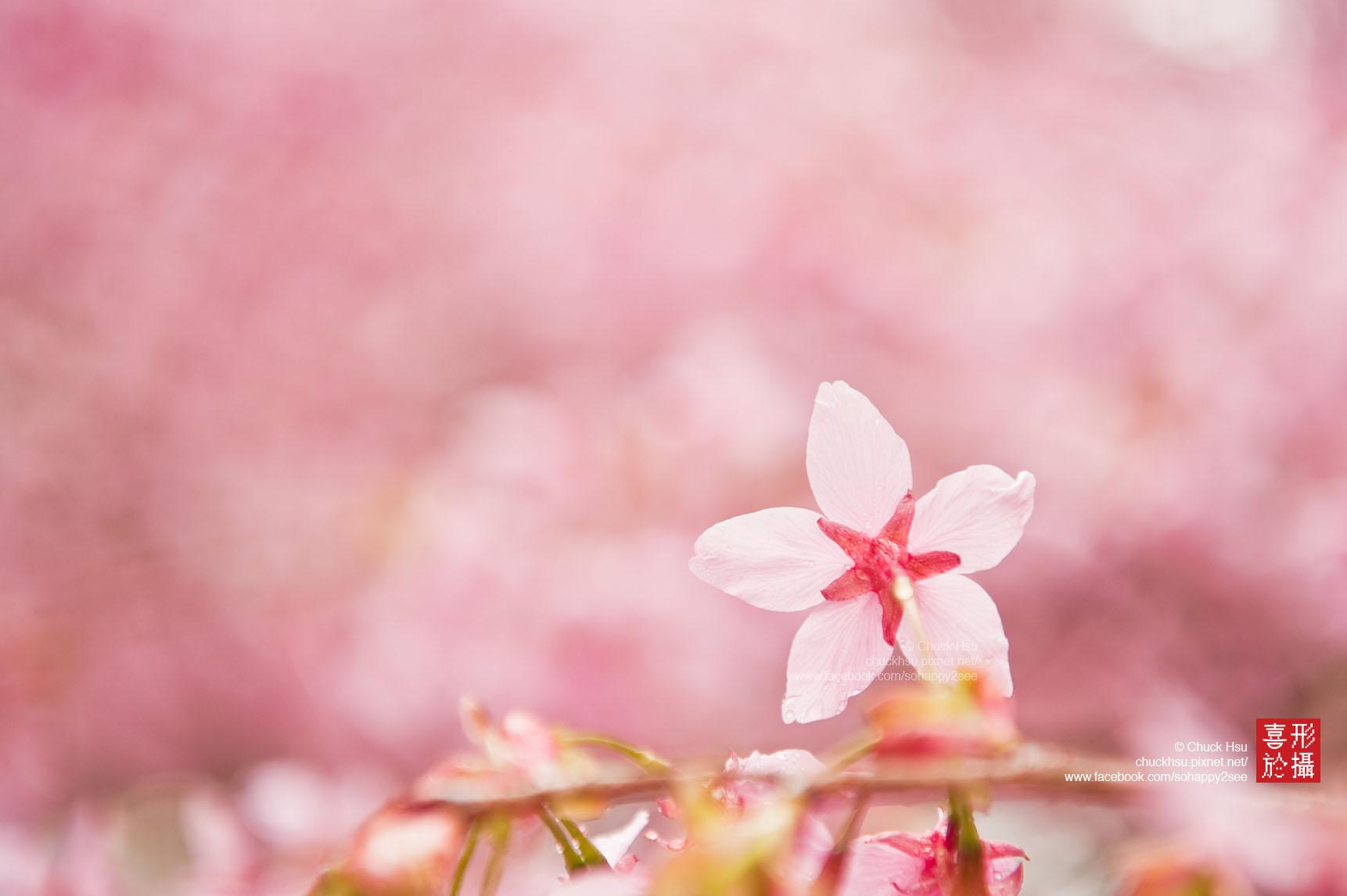花之星 Sakura