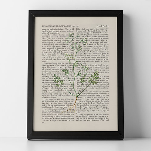 French Parsley Vintage Botanical Herb on Magazine Print from 1937
