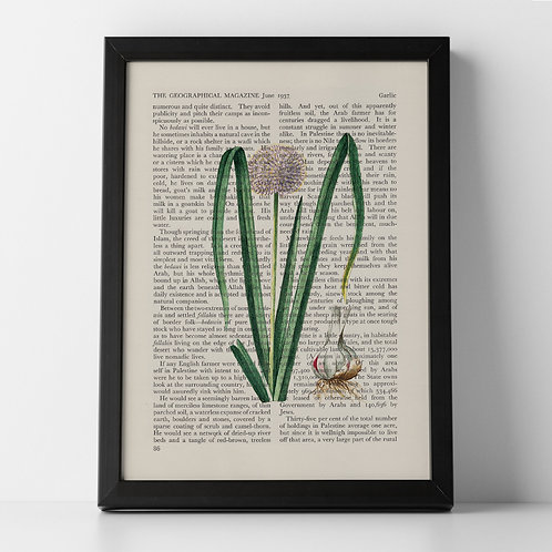 Garlic Vintage Botanical Vegetable on Magazine Print from 1937