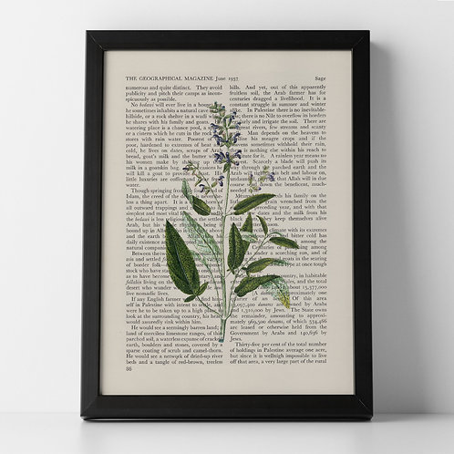 Sage Vintage Botanical Herb on Magazine Print from 1937