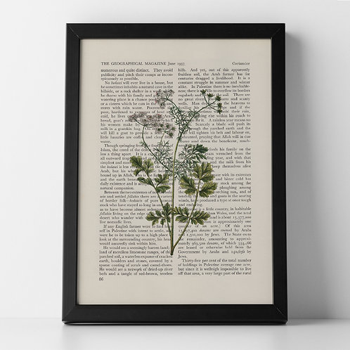 Coriander Vintage Botanical Herb on Magazine Print from 1937