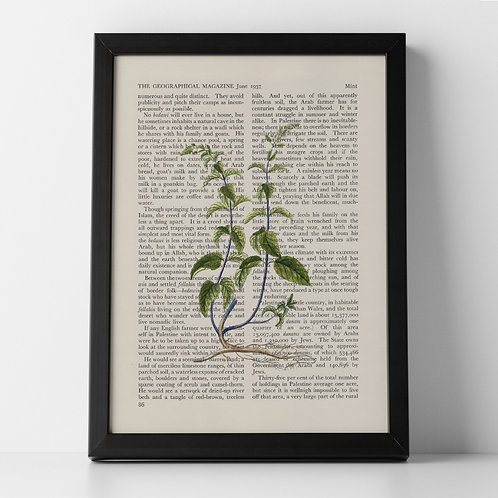 Mint Vintage Botanical Herb on Magazine Print from 1937