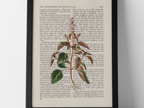 Basil Vintage Botanical Herb on Magazine Print from 1937