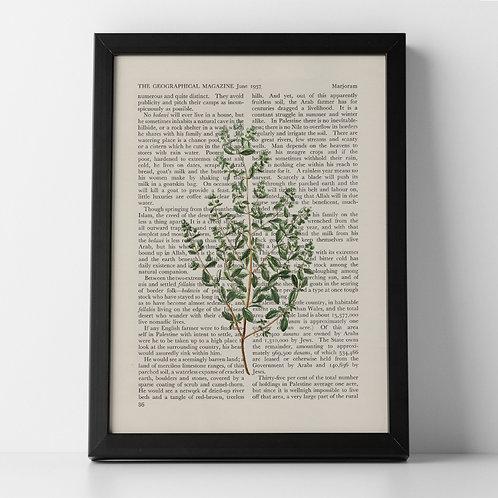 Marjoram Vintage Botanical Herb on Magazine Print from 1937