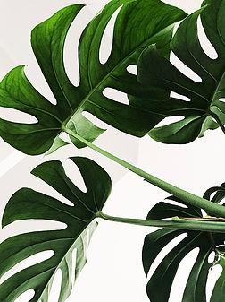 monstera plant.jpg