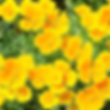 F Californian poppy.png