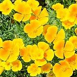 F Californian poppy.png
