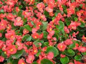 F begonias.png