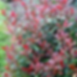Neals shrub photinia.png