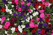 F Petunias.jpg