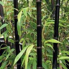Neals bambo nigra 2.jpg