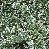 Neals shrub euonymus.png