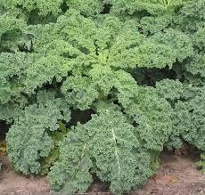 Kale - 250g