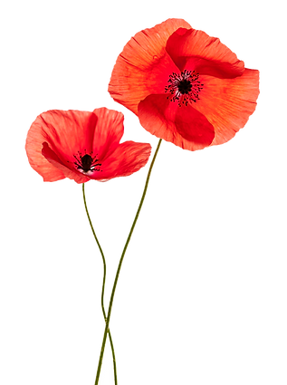 common-poppy-flower-stock-photography-re