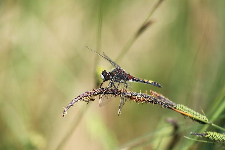 Leuchorrinia pectoralis (73).JPG