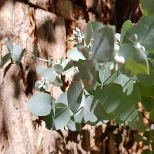 Penny Gum Tree