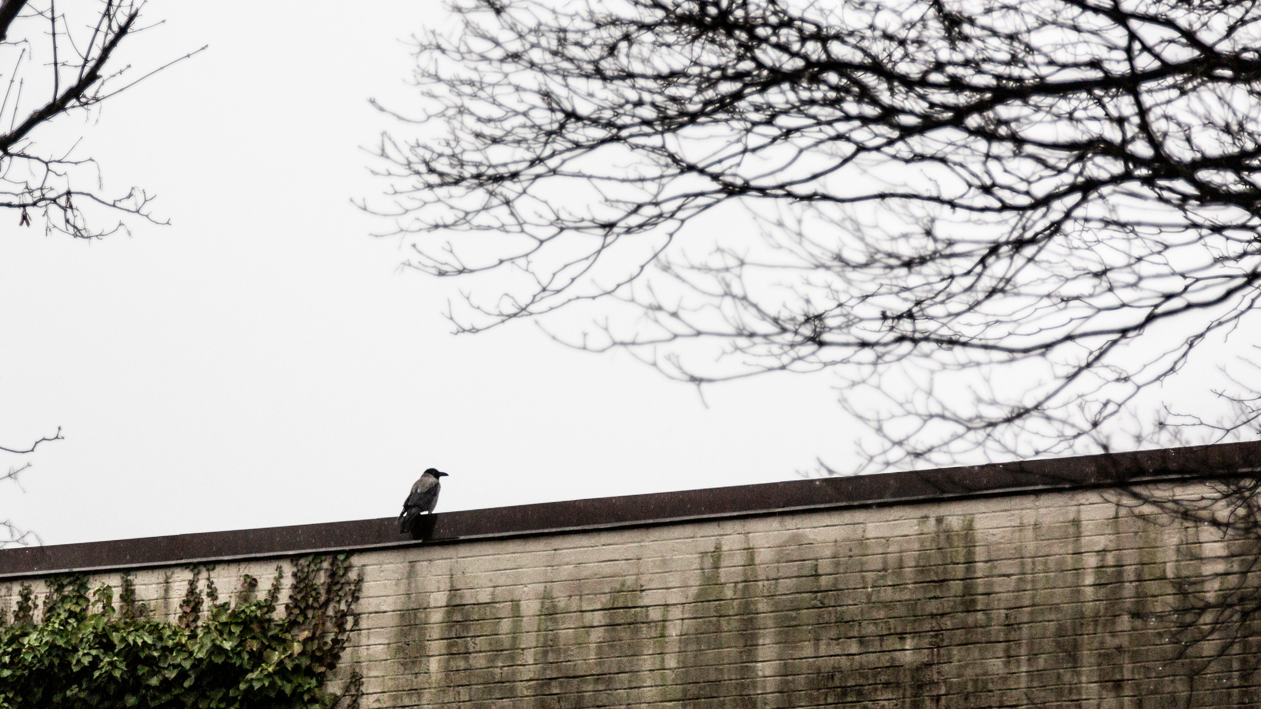 Kråka på taket