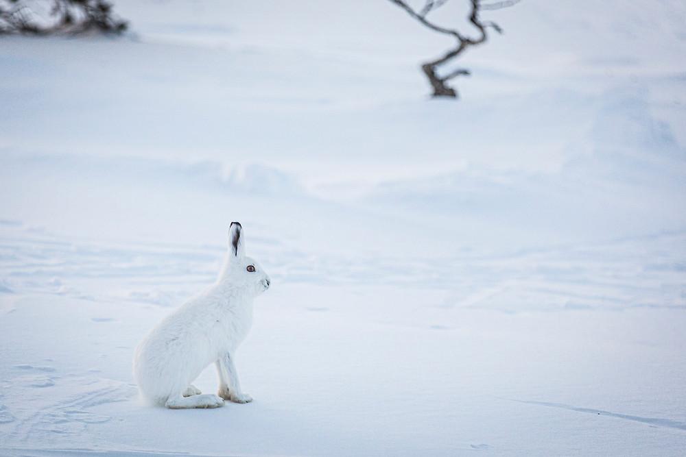 Hare i vinterdrakt
