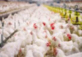 Chickens10.jpg