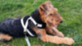 Upper West Side dog training. Perfect Behavior Dog Training trainer Jay Andors trained calm dog Arrow the Airedale in New York City
