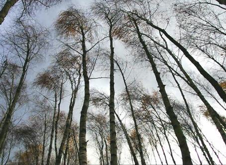 shaking as trees